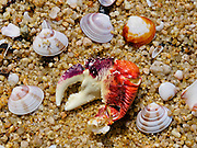 Crab claw and shells at Mutton Cove Beach, Abel Tasman National Park, South Island, New Zealand
