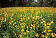 Brown eyed susans and prairie wildflowers at Starved Rock State Park near Utica, Illinois, USA
