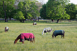 horses covered with blankets grazing in a field in East Hampton,NY