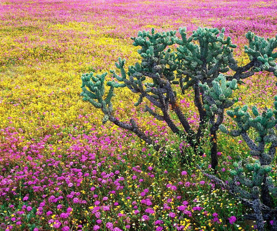 6104-1018B ~ Copyright:  George H. H. Huey ~ Chain link cholla cactus [Opuntia cholla], with poppies [Eschscholzia minutiflora], sand verbena [Abronia gracilis].  Vizcaino Biosphere Reserve.  Sonoran Desert.  Baja California, Mexico.