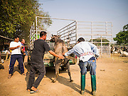 06 APRIL 2013 - SANPATONG, CHIANG MAI, THAILAND:   Men load a buffalo calf into a pickup truck in the livestock market in Sanpatong, Chiang Mai province, Thailand. The buffalo market in Sanpatong (also spelled San Patong) started as a weekly gathering of farmers and traders buying and selling water buffalo, the iconic beast of burden in Southeast Asia, more than 60 years ago and has grown into one of the largest weekend markets in northern Thailand. Buffalo and cattle are still a main focus of the market, but traders also buy and sell fighting cocks, food, clothes, home brew and patent medicines.        PHOTO BY JACK KURTZ