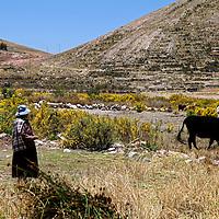 South America, Bolivia, Kala Uta Island. Aymara woman and cow on Kala Uta Island of Lake Titicaca.