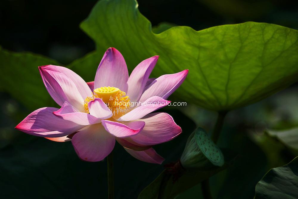 Vietnam Images-lotus-flower-nature -Hoàng thế Nhiệm