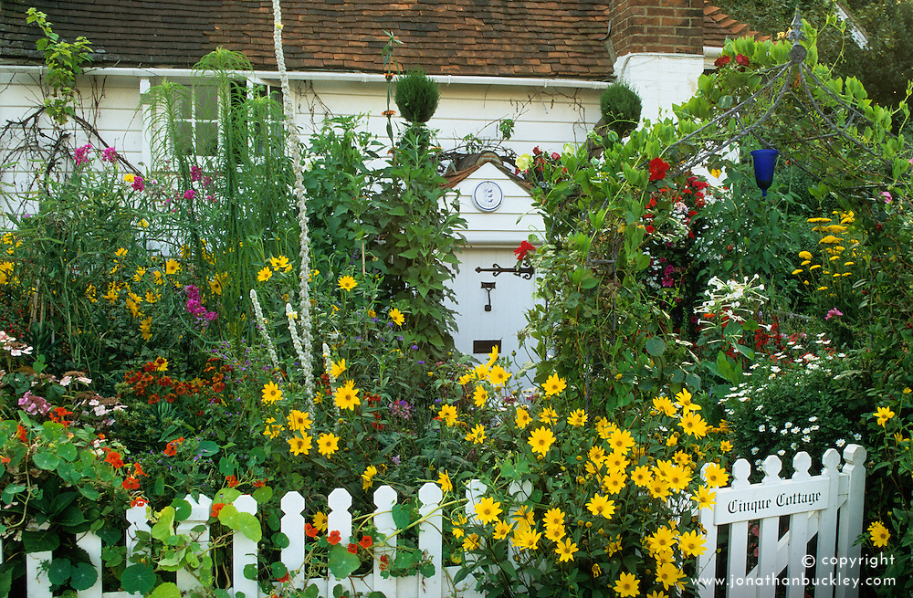 Cottage style front garden packed with colour in summer. Helianthus, helenium, verbascum and topiary spirals. White picket fence and iron arch