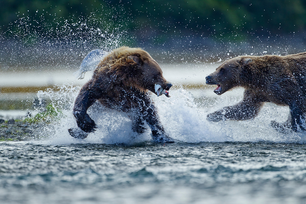 USA, Alaska, Katmai National Park, Grizzly Bears(Ursus arctos) fight for spawning salmon caught in stream along Geographic Harbor in late summer