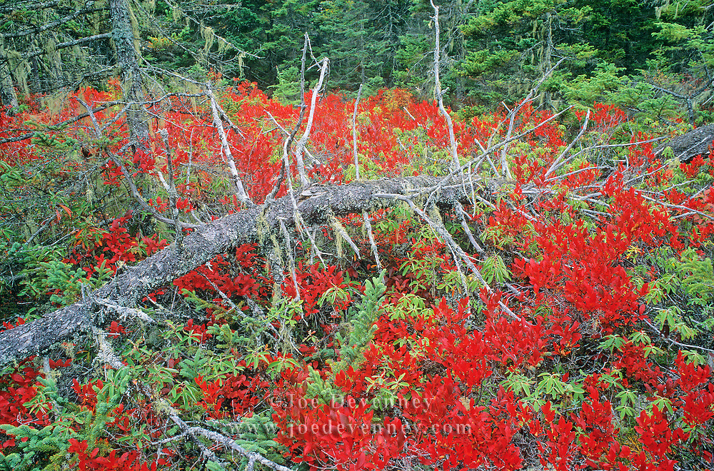 The Wonderland hiking trail in autumn. Acadia National Park. Mount Desert Island. Maine