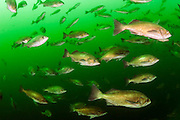 A school of Silvergray Rockfish, Sebastes brevispinis, gathers on a deep reef in Browning Passage offshore Vancouver Island, British Columbia, Canada.