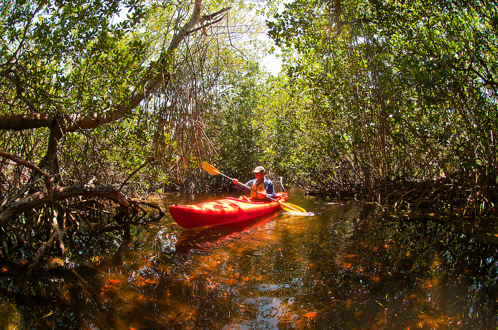 Kayaking in a mangrove tidal creek (Big Pine Kayak Adventures), Big Pine Key, Florida Keys, Florida USA