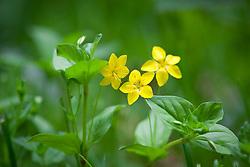 Yellow Pimpernel. Lysimachia nemorum