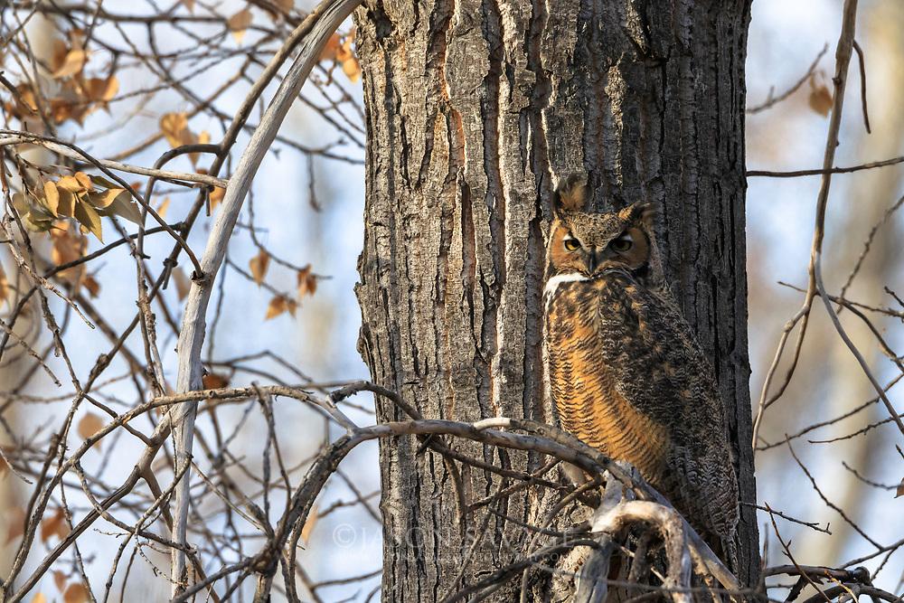 Great Horned Owl near Helena.