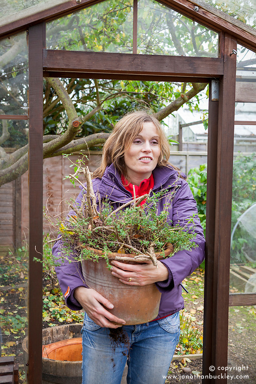 Cutting back tender plant (salvia) and bringing into the greenhouse to overwinter