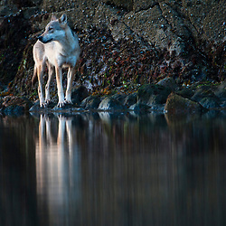 Wolf in the Great Bear Rainforest, British Columbia, Canada