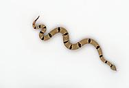 Banded Rock Rattlesnake (NM), Crotalus lepidus klauberi, studio portrait, ideal for cutout