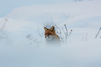 A red fox surveys the landscape through the blowing snow