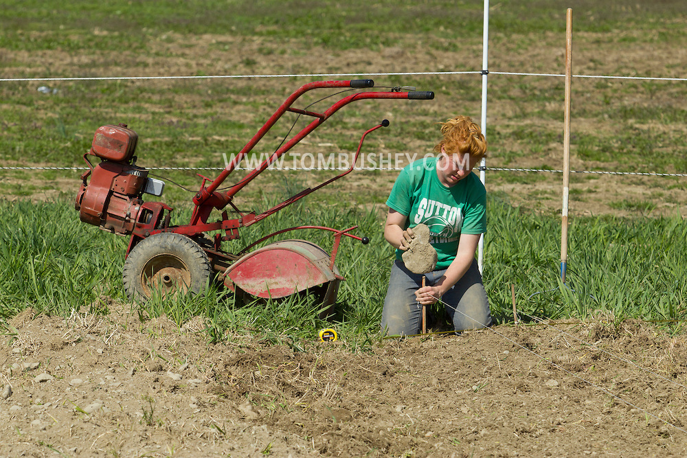 Chester, New York - Laura Nywening uses a rock to hammer in a stake before planting another row of cabbage at Peace and Carrots Farm on April 23, 2013. The CSA (Community Supported Agriculture) farm is in its first growing season.