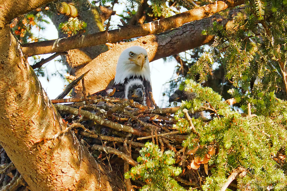 A bald eagle (Haliaeetus leucocephalus) watches over its newly hatched eaglets in its nest in Heritage Park, Kirkland, Washington.