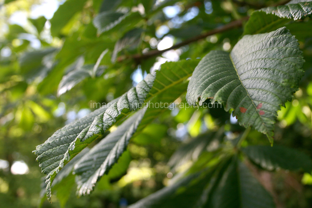 Close up of horse-chestnut tree leafs in the summer in Ireland