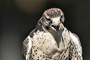 Portrait of a Lanner Falcon with a prey hanging from the beak at the Center for Birds of Prey November 15, 2015 in Awendaw, SC.