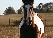 A curious quarterhorse paint stares at the photographer