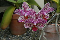 orchid plant in flower