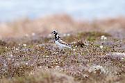 Ruddy Turnstone, Arenaria interpres, near nest, Yukon Delta, Alaska