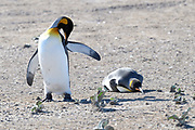 A pair of King penguins (Aptenodytes patagonicus) on Saunders Island on Sunday 4th February 2018.