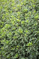 Pittosporum tenuifolium 'Garnettii' AGM