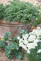 Artemisia arborescens in a terracotta pot with Crambe maritima (Sea Kale) and Dianthus 'Mrs Sinkins' growing at its base