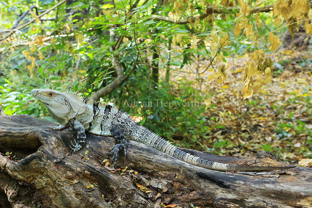 Male Black spiny-tailed iguana (Ctenosaura similis). Santa Rosa National Park, Guanacaste, Costa Rica.