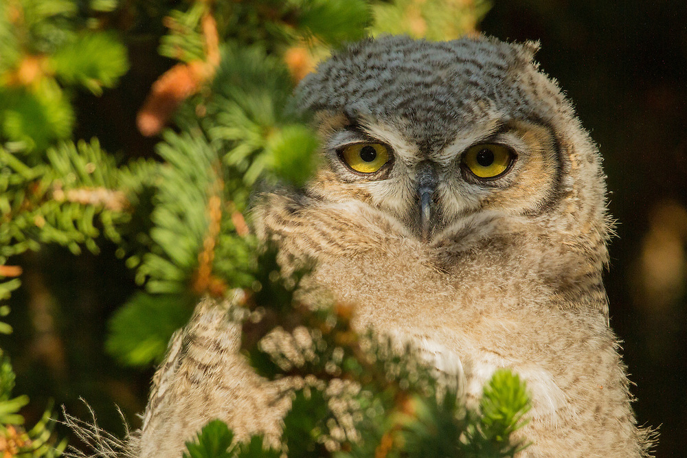 Hatched during the winter months, great horned owlets are ready to attack prey by mid-June. Owlets will continue to beg for food from their mother until October when they are fully independent and able to leave their parent's home range.