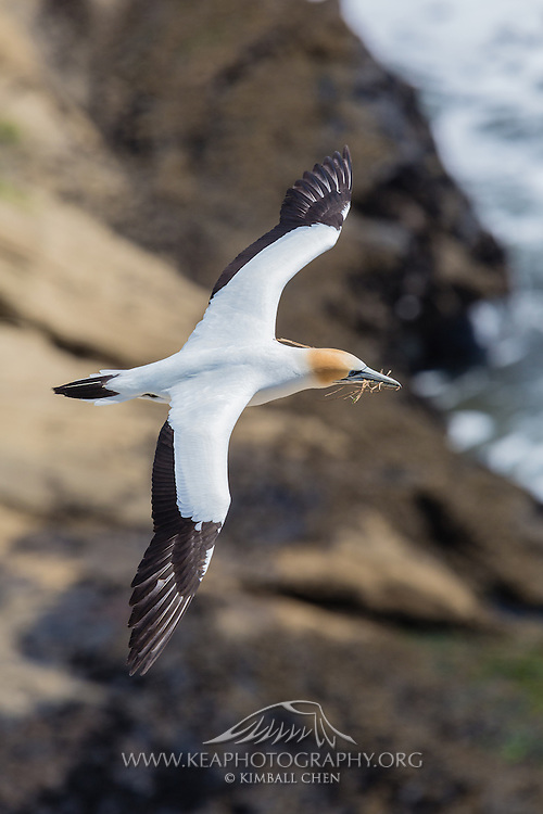 The gannet (Morus serratus) is a magnificent large seabird, with long narrow wings, a long neck, and instantly recognisable plumage. Adults are white with black tips to the wings and a yellowish head, which fades somewhat in winter. There is a ring of bluish skin around the eyes, which explains the alternative name of 'spectacled goose'