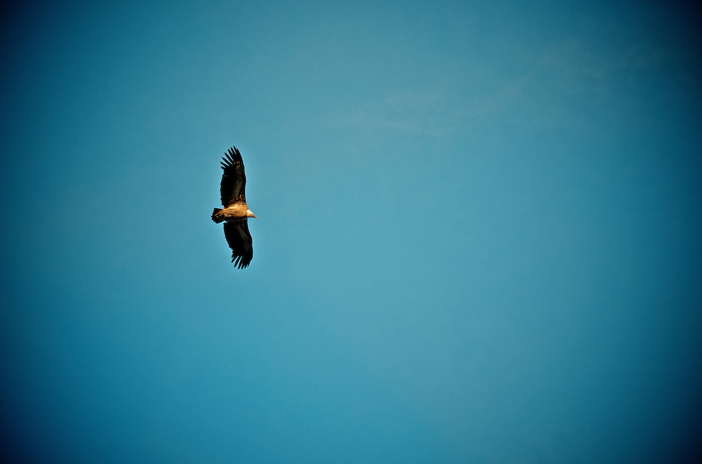 Bird of prey in Dalles Grises Sector of Verdon Gorges, France...2012 © Pedro Pimentel