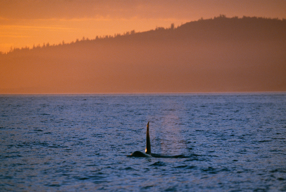 Orea Whale in sea at sunset