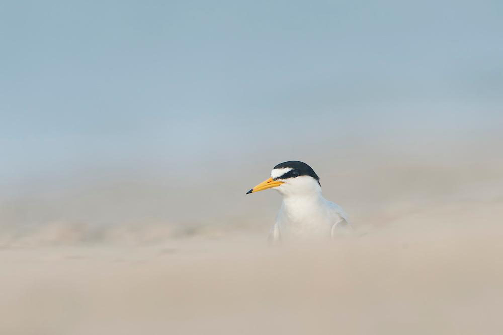 A least tern (Sterna antillarum) in breeding plumage, Bolivar Peninsula, Texas