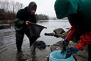 John Taylor (L) and Suzanne Smith collect the elvers that they caught in nets left out overnight in Pemaquid, Maine on Thursday, March 29, 2012.  Craig Dilger for The New York Times