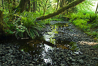 Riverbed running through Kestner Homestead Trail, Quinault Rain Forest, Olympic National Park, Washington.