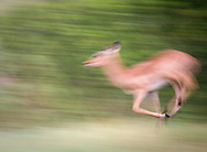 An impala running in the Okavango Delta region of Botswana.