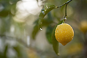 Fresh Lemon on a lemon tree
