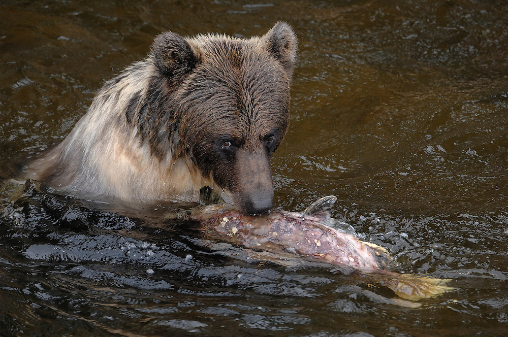Grizzly bears eating salmon in the fall - atum<br /> ---<br /> Grizzly bj&oslash;rn spiser laks p&aring; h&oslash;sten