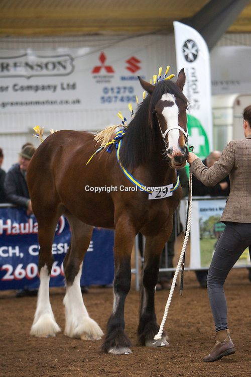 North West and Wales Shire Foal Society Show 2012<br /> Curbishley Farm Ltd's  Ballafayle Cameo   f 2011<br /> Sire  Bewholme Conqueror   Dam  Ballafayle Polyana<br /> 4th Place   Yearling Colt, Gelding or Filly Class