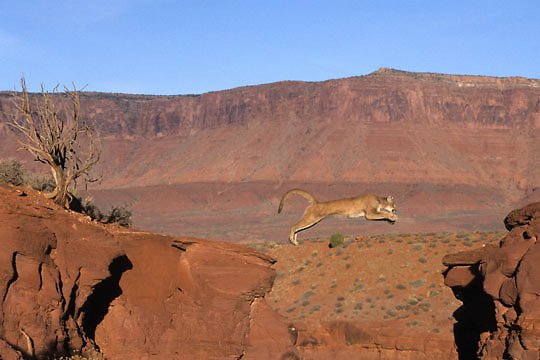 Mountain Lion or Cougar, (Felis concolor) Adult jumping crevasse in southern Utah. Red rock country. Captive Animal.
