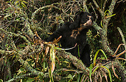 Spectacled or Andean Bear        ©<br /> Tremarctos ornatus<br /> Cloud Forest and Paramo Habitat<br /> Andes. ECUADOR.  South America<br /> Range: Colombia south to Bolvia<br /> ENDANGERED (CITES 1)