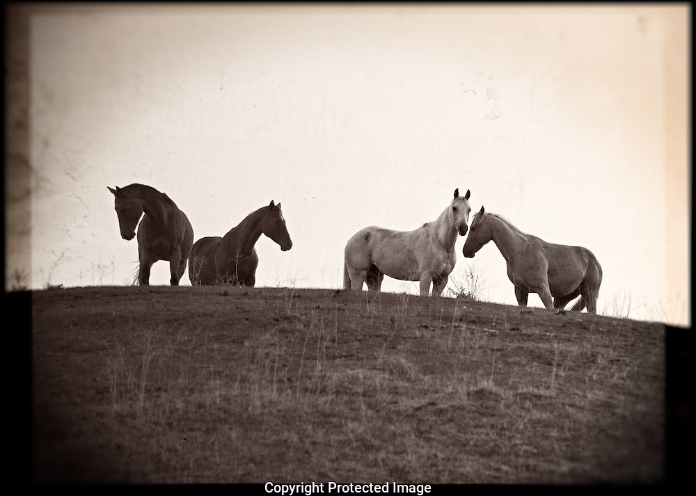 Horse Creek Ranch mares silhouette., Washington, America, Isobel Springett