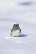 01569-00719 Dark-eyed Junco (Junco hyemalis) in winter, Marion Co.   IL