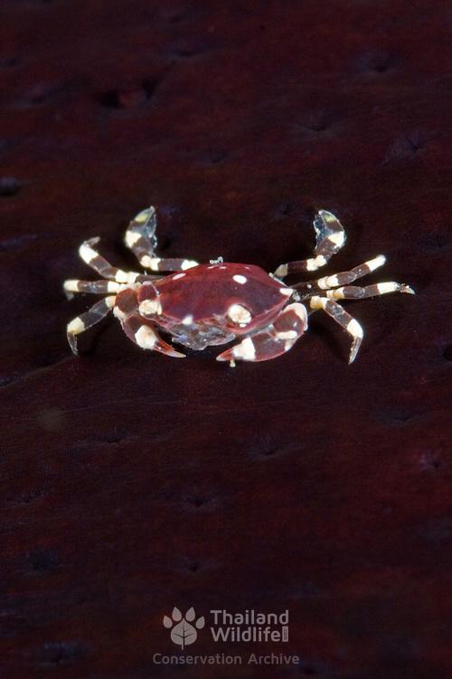 Lissocarcinus orbicularis crab in Lembeh, Suluwesi, Indonesia.