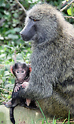 Olive Baboon and very young baby, Photographed in Kenya