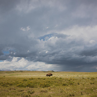 lone bison bull crossing prairie under storm clouds
