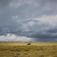 lone bison bull crossing prairie under storm clouds