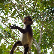 Baby spider monkey..Aktunchen, Quintana Roo..Mexico.