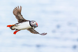 Atlantic puffin, or common puffin, Fratercula arctica, returning to its nesting burrow with small bait fish for chicks, Vigur, Westfjords, or West Fjords, Iceland, Arctic Ocean